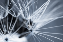 Abstract Background With Closeup Of Dandelion Seeds. Natural Background.