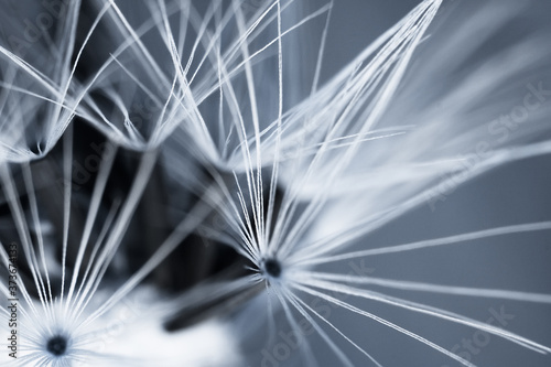 Obraz Abstract background with closeup of dandelion seeds. Natural background. - fototapety do salonu