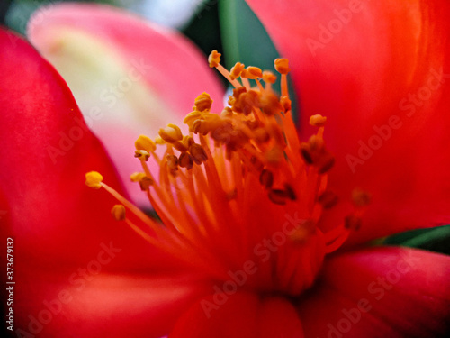 Closeup shot of beautiful red flower petals and pollens with a blurred backgroun Fototapet