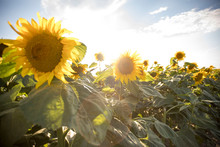 Sunflowers On A Field Of Large...