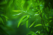 Dense And Luxuriant Thickets Of Green Foliage On Thin Stems In Summer. Blurred Background.