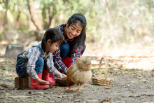 Asian Little Girl And Young Woman Feed The Chicken In Layer And House Farm Eggs.  People Kid Woking Outdoor Stay Home. .
