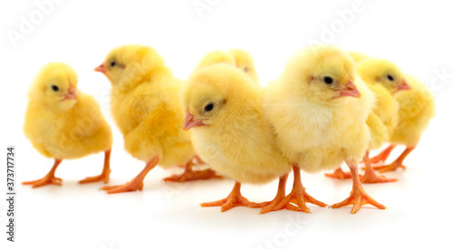 Obraz Group of little chickens. - fototapety do salonu