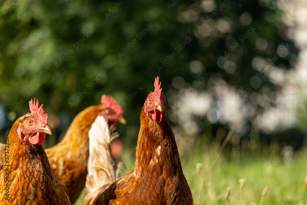 Fototapeta Free range organic chickens poultry in a country farm, germany
