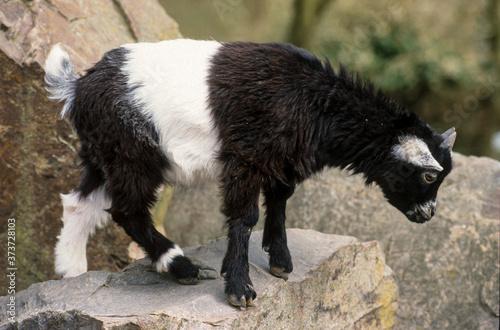 Tablou Canvas Chèvre, race Naine d'Afrique orientale, Capra aegagrus hircus