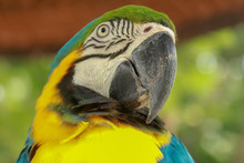 Close Up Of Head Of Blue And Gold Macaw Parrot. Exotic Colorful African Macaw Parrot, Beautiful Close Up On Bird Face Over Natural Green Background, Bird Watching Safari, South Africa Wildlife