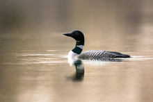 Canadian Loon In The Wild
