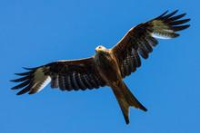 Portrait Of Red Kite (milvus M...