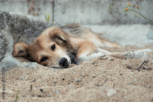 Tablou Canvas Young cute dog resting on the sandy shore and looking with bottomless eyes