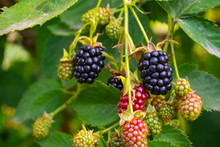 Black And Red Blackberries Ripen On The Bush
