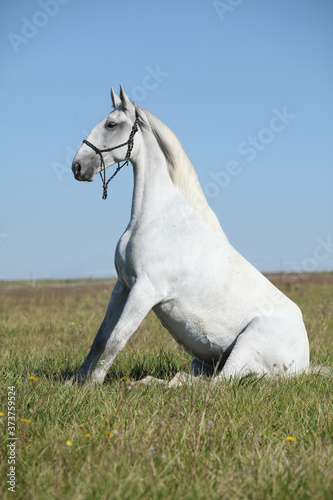 Amazing lipizzaner horse on pasturage Canvas Print