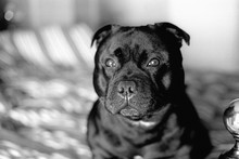 Portrait Of A Handsome Staffordshire Bull Terrier Dog Sitting On A Bed In The Morning Sunshine. Monochrome Image Taken On Film With Some Film Grain.