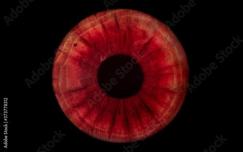 Fotografie, Obraz red human iris