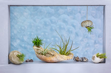 Tillandsia (air Plants) In Shell And Sea Urchin Shell As Containers Decorating A Window With Bubble Pattern Glass Behind