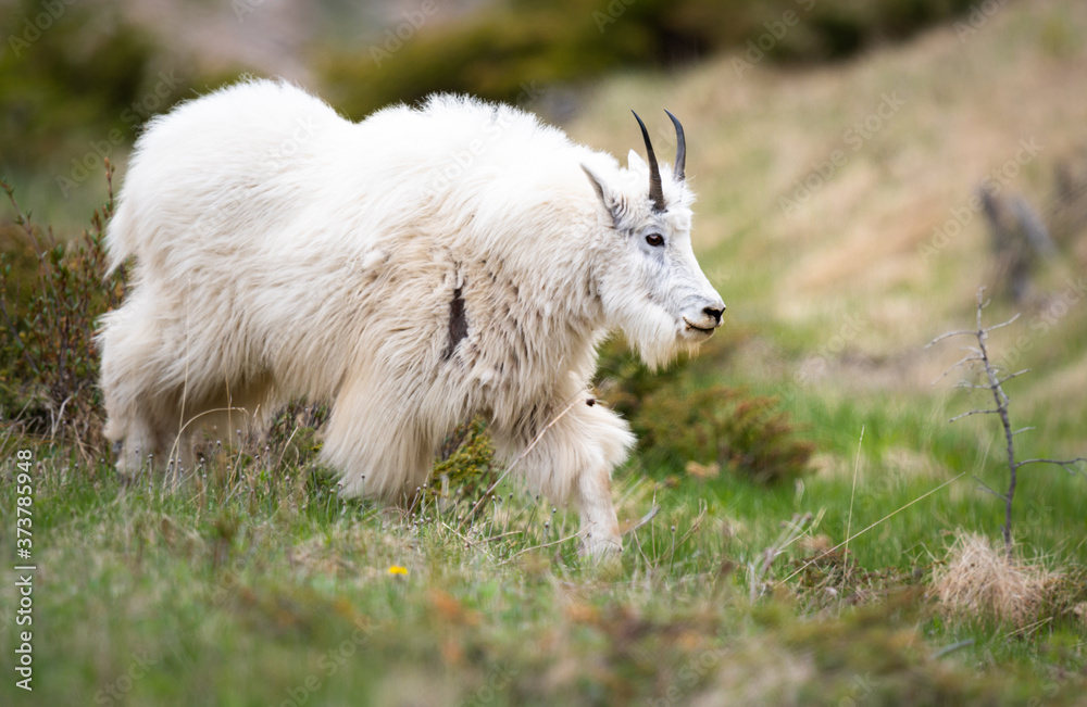 Mountain goats in the spring
