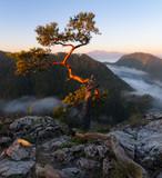 Pine on the Sokolica peak