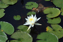 White Water Lily In The Center Of A Photograph With Lily Pads Surrounding The Flower.