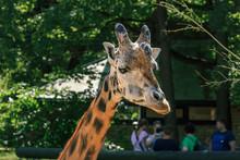 Rothschildi Giraffe Long Neck ...