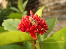 Little Spider On Ixora Flowers