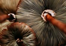 Mushroom Fan