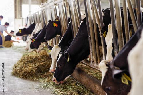 牧場の牛舎の牛 Canvas Print