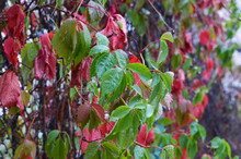Green And Red Leaves Of Wild Grapes. Rain Drops. Autumn Background. Blur. Copyspace