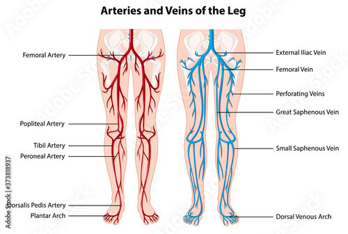 Photo Arteries and veins of the leg