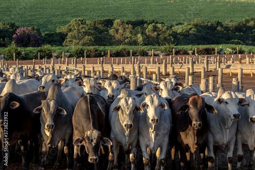 Fototapeta A group of cattle in confinement in Brazil