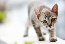Lovely Gray Cat Walking At Out...