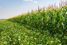 Border Of Soybean And Corn Fields In Summer