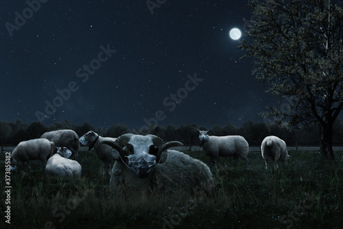 Obraz na plátně resting herd of sheep covered with protective mask grazing at pasture field