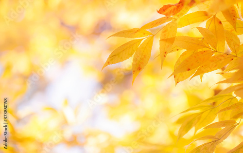 Obraz na plátně Autumn natural bokeh background with yellow leaves and golden sun lights, fall n