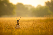 Big Horned Wild Male Blackbuck...