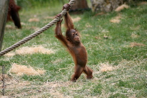 Orang-outan - zooparc Beauval - France Tapéta, Fotótapéta