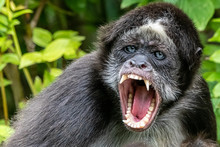 An Angry Spider Monkey