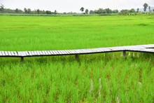 Green Rice Filed Nature Backgr...
