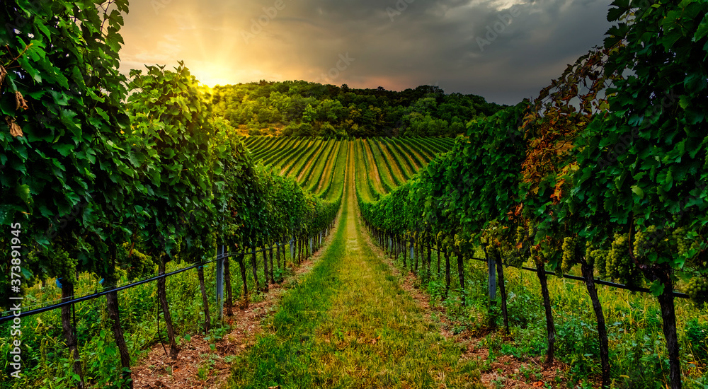 Fototapeta Gorgeous sunset over beautiful green vineyards in lower Austria