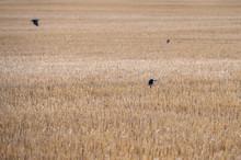 Rook (Corvus Frugilegus) Peeking Up On A Large Crop Field After Harvest