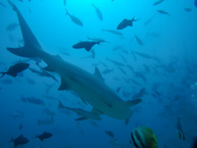 Large Shark Swimming Away In S...