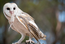 The Barn Owl Is Eating A Rat