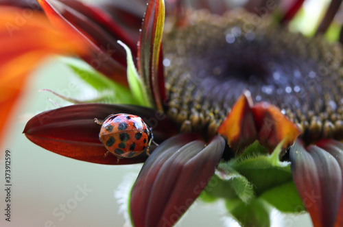 red velvet sunflower and ladybird Fototapeta