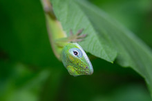 Closeup Shot Of A Green Lizard On A Green Leaf With A Blurred Background