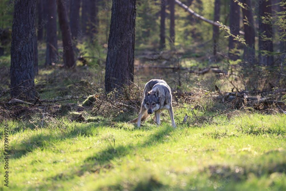 Fototapeta Czechoslovakian wolfdog in the forrest