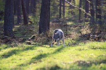 Czechoslovakian wolfdog in the forrest