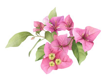 A Pink Bougainvillaea Arrangement Hand Painted In Watercolor Isolated On A White Background. Watercolor Floral Illustration. Watercolor Bougainvillea.
