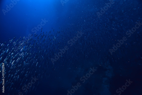 Fototapeta scad jamb under water / sea ecosystem, large school of fish on a blue background, abstract fish alive obraz