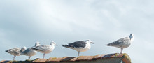 Gulls Aligned On A Rooftop Wit...
