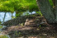 Female Mallard Duck Resting In...