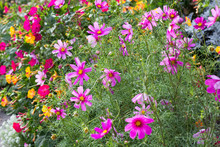 Cosmos Plants (Cosmos Bipinnatus)  - Beautiful Summer Plants In The Bee-friendly Cottage Garden