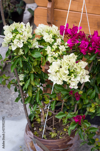 Fotografie, Tablou white pink bougainvillea two tone color flower blooming in the pot